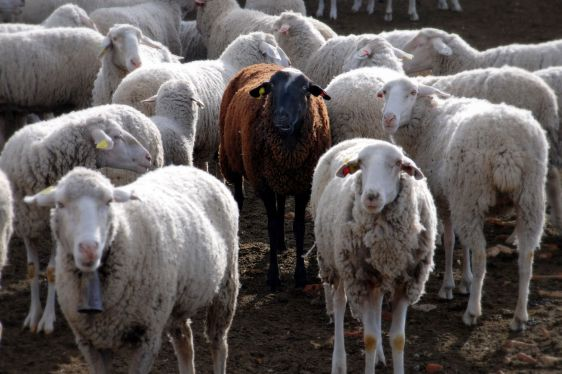 [Imagen: black_sheep-1.jpg?w=562&h=374]